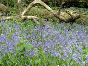 * April 19 Regional Ramble  – Pondhead Bluebells in the New Forest, Lyndhurst