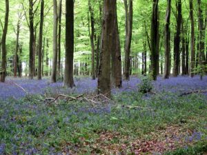 *May19 – Regional Ramble – Bluebells in Angmering, West Sussex