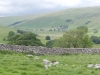 cow-close-littondale-022