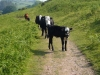 challacombe-07-the-cattle-are-friendly